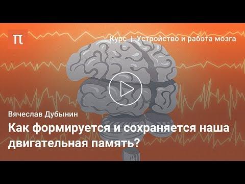 Мозжечок и базальные ганглии — Вячеслав Дубынин