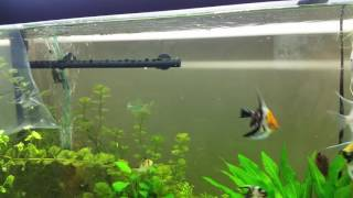 Giant Danio Eating/ Carrying Around Hairgrass
