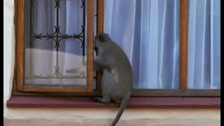 Breaking and entering | Cheeky Monkey | BBC