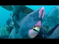 Download Youtube: Feeding Humphead Parrotfish - Blue Planet - BBC Earth