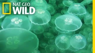 Jellyfish: A Success Story | Nat Geo Wild