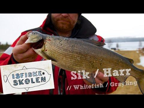 Isfiskeri efter helt