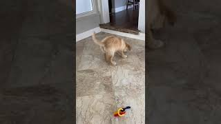 Golden Retriever Puppies Videos