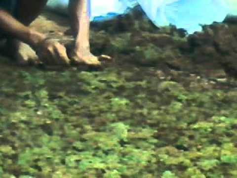 Video cara menanam rumput golf sederhana