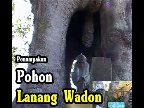 POHON-LANANG-WADON-YANG-DIJAGA-MONYET.html