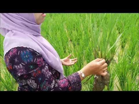 Video Cara Mengatasi Penyakit Virus Kerdil Rumput pada Tanaman Padi by Fifi Avanti S Pt