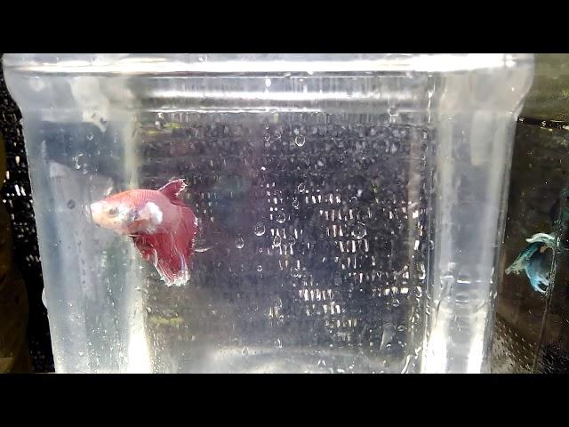 BETTA FISH IN TRIVANDRUM .. Elephant ear fish