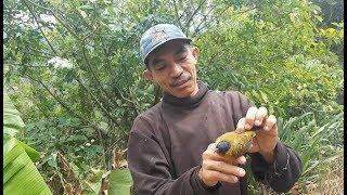 Pikat Burung Kutilang Emas Menggunakan Mp3 Top Deh