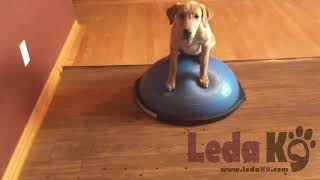 Place Training 2.0 with Yeti on the Bosu Ball Adding Distractions