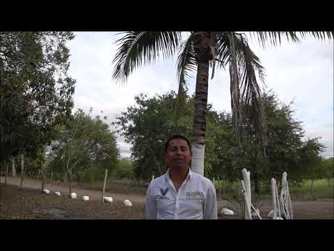 Moringa _ Morinjic, Anbau bei Veracruz, Mexiko, Qualitätsmerkmale