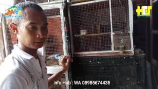 SOC HCS Untuk Ternak Burung Lovebird kenari murai batu