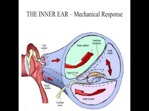Inner Ear Anatomy and Physiology - 4D VIDEO