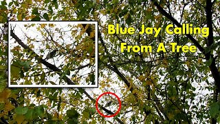 Blue Jay Mobbing Alarm Call, Somewhere In The Tree