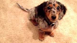 Baby Finn & Kitty - ADORABLE Dapple Miniature Dachshund Puppy Learns To Roll Over