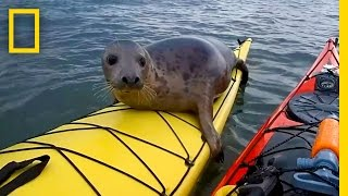 Adorable Seal Catches a Ride on a Kayak | National Geographic