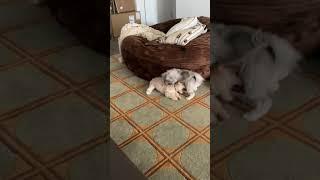 Havanese Puppies Videos