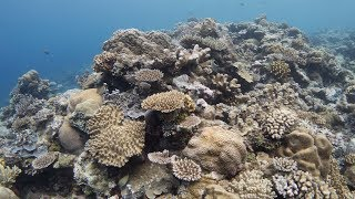Palau Coral: Glimmer of Hope