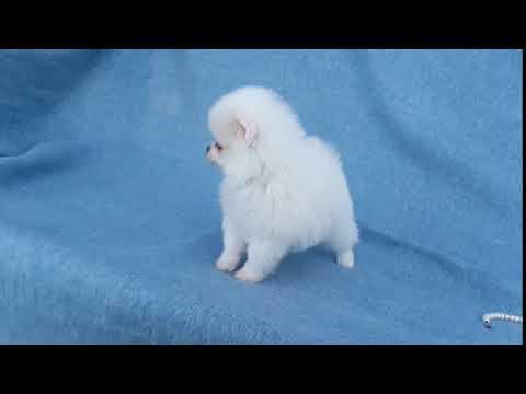 Teddy Bear Pomeranian Puppy For Sale Near West Palm Beach Florida
