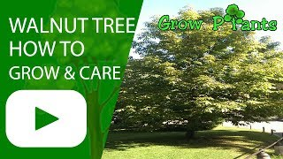 Walnut Tree - How To Grow, Care And Harvest