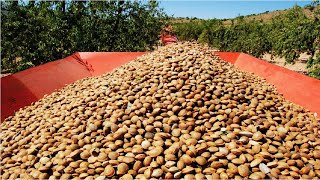 Awesome Almond Cultivation Technology - Almond Farming And Harvest