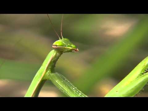 Parazitá fertozes maj