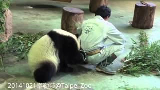 20141021-圓仔偷了彪哥的鋼杯The Giant Panda Yuan Zai