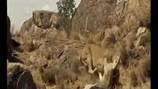 awesome lioness fight