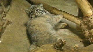 マヌルネコごろんごろんRumblingly Pallas's Cat