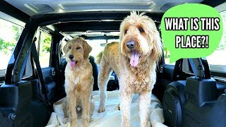 Goldendoodles REACT To Car Wash!