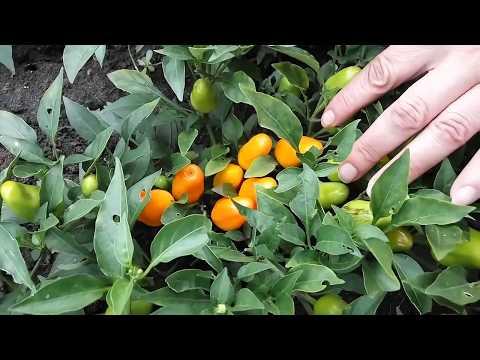 , title : 'Orange miracle pepper, Перец оранжевое чудо