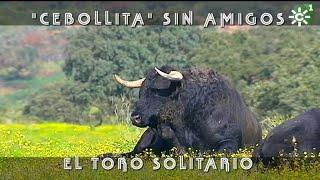 El Toro Cebollita Sin Amigos De Cuadri | Toros Desde Andalucía