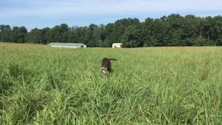 First exposure to live birds, training the lab puppy.