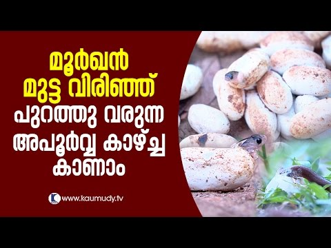 Wow ! A rare sight of eggs hatching and baby cobras coming out   Snake Master EP 250   Kaumudy TV
