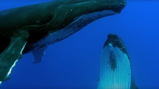 Two Beautiful Humpback Whales Dance | Animal Attraction | BBC Earth