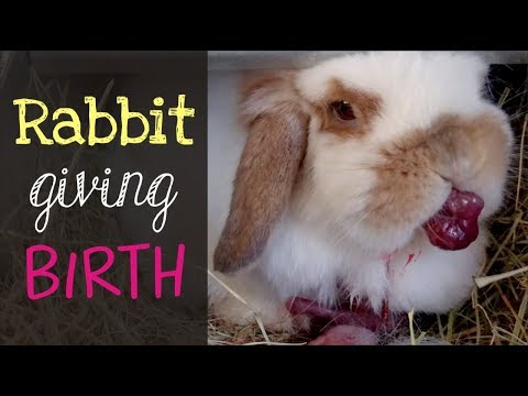 , title : 'Holland Lop Rabbit Giving Birth