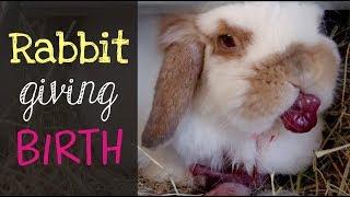 Holland Lop Rabbit Giving Birth
