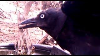 Crows (Australian ravens) removing ticks - part 5