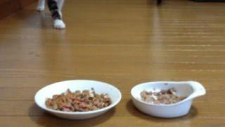 子猫ちゃんは、猫缶、カリカリ、どっちから行くか?