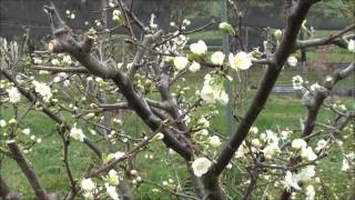 How to prune Plum trees