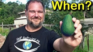 When is Avocado Fruit RIPE & Ready to be Picked from the Tree