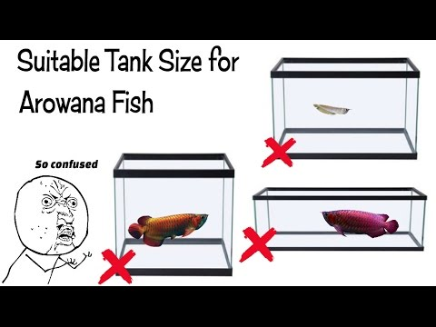Download link youtube best tank size for arowana fish for Fish tank sizes