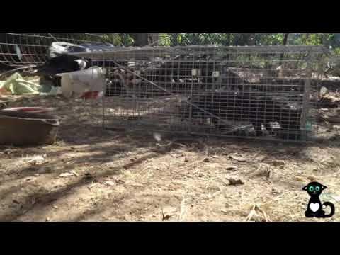 Katzeneinfangen mit Katzenfalle August 2018