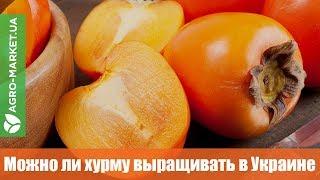 Можно ли хурму выращивать в Украине? 🍑 | Хурма | Agro-market.ua