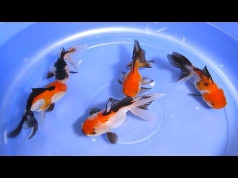 Buying ranchu fish in kl online dating 8