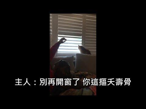 主人想關窗但貓皇想開窗,最後貓皇出大絕完勝