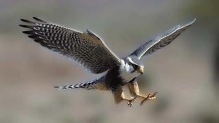 Топ 10 самых быстрых птиц в мире