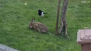 Druženje zajca in srak