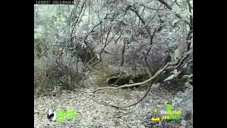 preview picture of video 'Leopard at Waterhole @ BNHS / CEC Mumbai City - www.livedarshan.com'