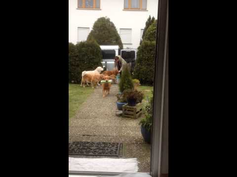 Golden Retrievers happily helping owners bring in groceries from the car.