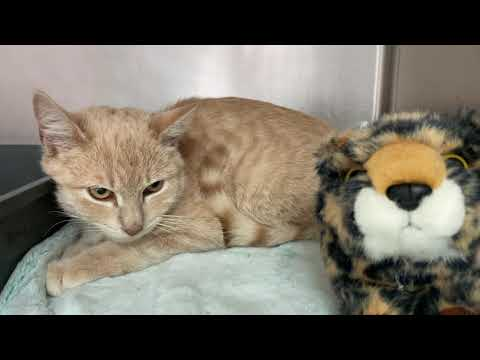 Hines, an adopted Domestic Short Hair in Clifton, NJ_image-1